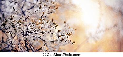 cerise, floraison, branches, fond