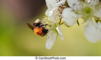 cerise, gros plan, fleurs, féconder, abeille
