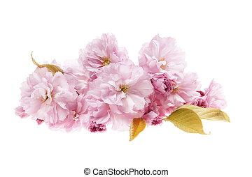 cerise, isolé, fleurs