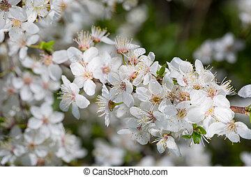 cerise, printemps, floraison, fleurs blanches, arbre