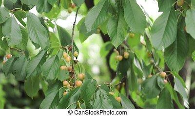 cerises, prêt, cerise, cueillette, picking., mûre, arbre, gros plan, jaune, branche, verger, fruits