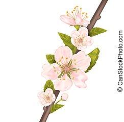 cerisier, haut, branche, fleur, fin