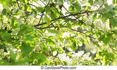 cerisier, oiseau, lumière soleil