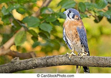 cernícalo, norteamericano, norte, pájaro