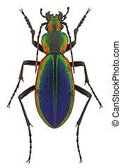 Ceroglossus chilensis latemarginatus, a rainbow-coloured ...