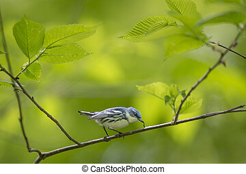 A Cerulean Warbler eats a small inch worm while perched on a branch surrounded by bright green leaves.