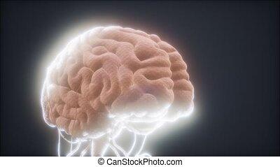 cerveau, animé, humain, modèle