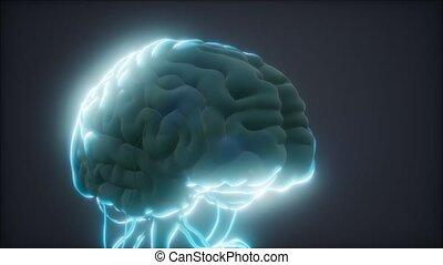 cerveau, animé, modèle, humain