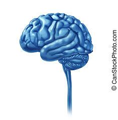 cerveau, blanc, isolé, humain