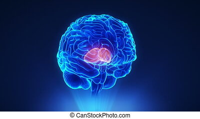 cerveau, concept, droit, thalamus, boucle
