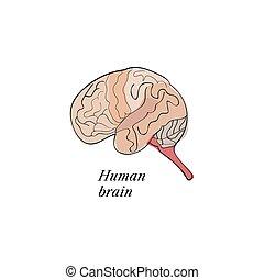 cerveau, croquis, humain