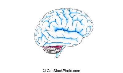 cerveau, dessiner