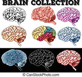 cerveau, différent, conception, humain