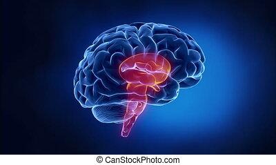 cerveau, explication, parties
