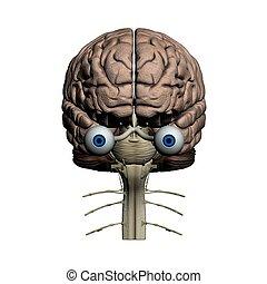 cerveau, frontal, humain, vue