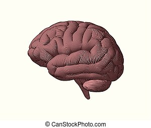 cerveau, gravure, brun, côté, illustration, vue