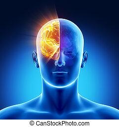 cerveau, hémisphère, droit, -, partie