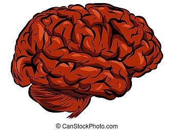 cerveau, humain, blanc, illustration, fond