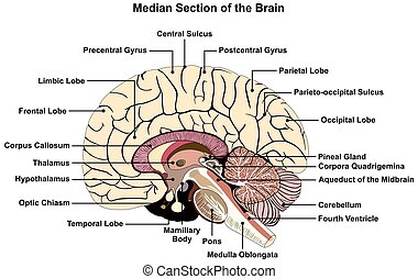 cerveau humain, médian, section, diagramme