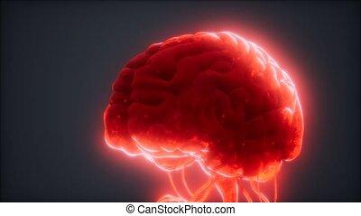 cerveau, humain, modèle, animé