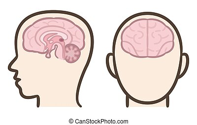 cerveau humain, section, médian