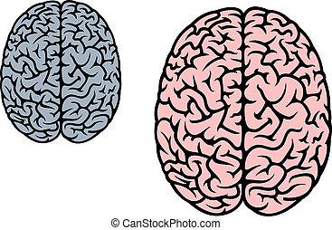 cerveau, isolé, humain