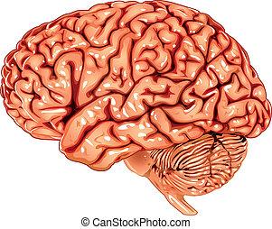 cerveau, latéral, humain, vue