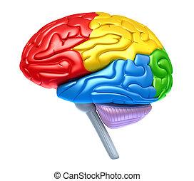 cerveau, lobes, couleurs, différent