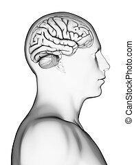 cerveau, mâle