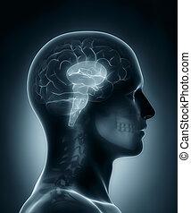 cerveau, monde médical, tige, rayon x, balayage