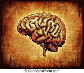 cerveau, parchemin, humain