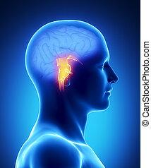 cerveau, partie, -, humain, tige