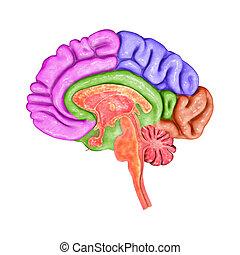cerveau, parties