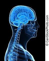 cerveau, parties, humain