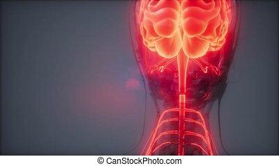cerveau, radiologie, examen, humain