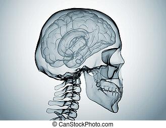 cerveau, rayon, x