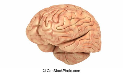 cerveau, rotation, humain, boucle, modèle