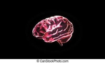 cerveau, rouges