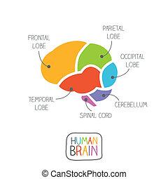 cerveau, section, humain, illustration