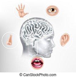 cerveau, tête, ai, cinq, figure, sens, concept, humain