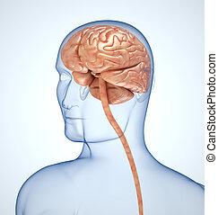cerveau, tête, transparent, fond, light-blue