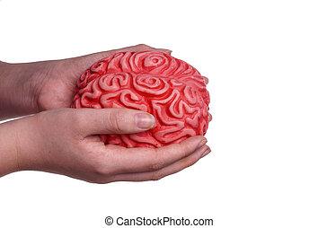 cerveau, tenue, mains humaines