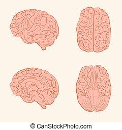 cerveau, vecteur, illustration