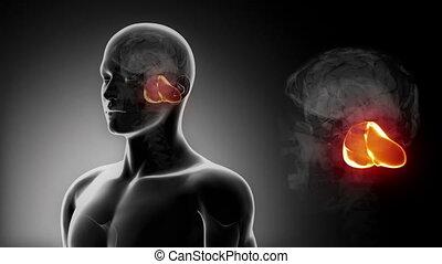 cervelet, anatomie, mâle, x, cerveau