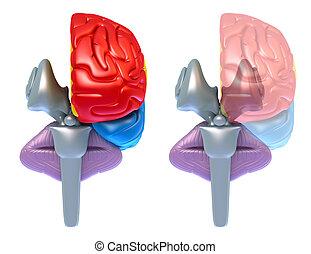 cervelet, cerveau, lobes