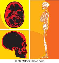 cervelet, squelette humain, crâne
