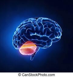 cervelletto, parte, -, cervello umano, in, raggi x, vista