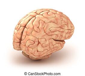 cervello, 3d, isolato, umano, modello