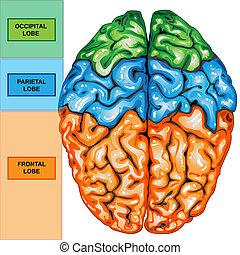 cervello, cima, umano, vista