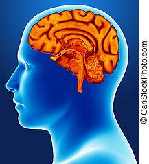 cervello, dettaglio